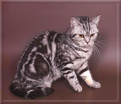 Кошки и котята породы Британская  купить из питомников и
